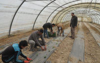 كلية الزراعة في جامعة واسط تقوم بحملة مكافحة الأدغال الحنطة الرفيعة
